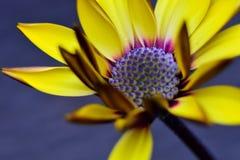 Grande fleur jaune en fleur Images libres de droits