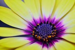 Grande fleur jaune en fleur Photo libre de droits