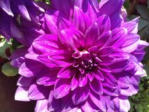 Grande fleur pourpre image libre de droits