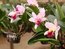Grande fleur pourpre rose molle colorée d'orchidée dans la grande usine de ferme, pépinière d'usine Photos stock