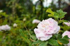 Grande fleur rose blanche sur le fond vert images stock