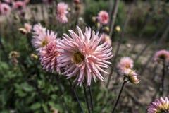 Grande fleur rose de jardin Photo stock
