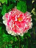 Grande fleur rose de pivoine en pleine floraison Images libres de droits