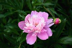 Grande fleur rose de pivoine sur le fond floral Photo libre de droits