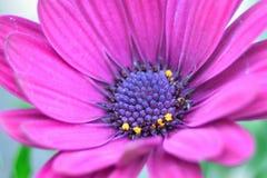 Grande fleur rose pourpre en fleur Photo libre de droits