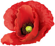 Grande fleur rouge de pavot Photographie stock
