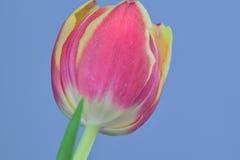 Grande fleur rouge de tulipe en fleur Images stock