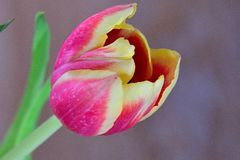 Grande fleur rouge de tulipe en fleur Photographie stock