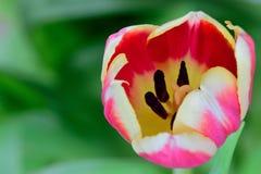 Grande fleur rouge de tulipe en fleur photographie stock libre de droits