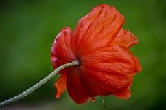 Grande fleur sauvage orange de pavot en mai Beaux pétales de fleur de ressort en gros plan Photographie stock libre de droits