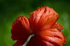 Grande fleur sauvage orange de pavot en mai Beaux pétales de fleur de ressort en gros plan Image stock