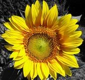 Grande flor amarela do girassol imagem de stock royalty free