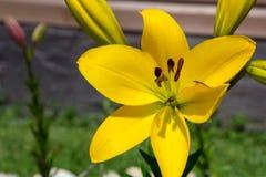 Grande flor amarela do lírio no jardim foto de stock