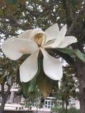 Grande flor branca Fotografia de Stock