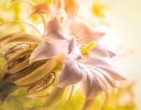 Grande flor branca do cacto fotografia de stock