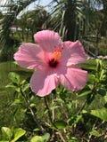 Grande flor cor-de-rosa Fotografia de Stock Royalty Free