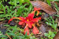 Grande flor do gengibre da terra na florescência amarela vermelha colorida em f Foto de Stock Royalty Free