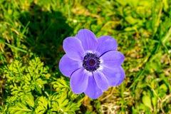 Grande flor roxa fotografia de stock royalty free