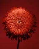 Grande flor vermelha Fotografia de Stock Royalty Free