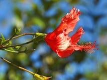 Grande flor vermelha e alguns botões Um fundo borrado foto de stock
