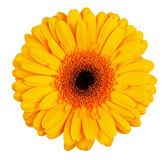 Grande flor yellow-orange do gerbera Imagem de Stock