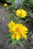 Grande-florecido tickseed (Coreopsis grandiflora) imagen de archivo