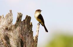 Grande Flycatcher crestato Fotografia Stock Libera da Diritti