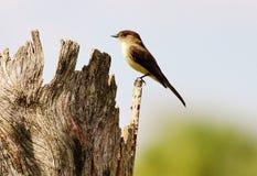 Grande Flycatcher crestato Fotografie Stock Libere da Diritti