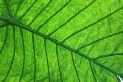 Grande foglia tropicale Fotografie Stock