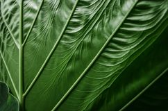 Grande foglia verde di alocasia in primo piano Fotografie Stock