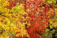 grande fogliame di autunno dell'albero Fotografie Stock Libere da Diritti
