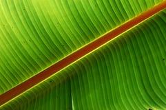 Grande foglio verde Immagini Stock