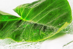 Grande foglio verde Fotografia Stock