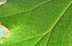 Grande foglio verde Fotografia Stock Libera da Diritti