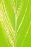 Grande folha da fronda da palma Foto de Stock Royalty Free