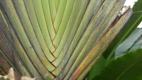 Grande folha da palmeira Planta tropical do grande verde Textured da palmeira com folhas do cruzamento video estoque