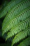 Grande folha do fern Imagens de Stock Royalty Free