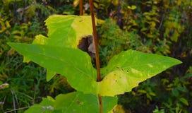 Grande folha pointy verde incomum que vai através da haste fotografia de stock
