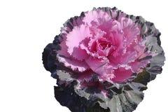 Grande fondo bianco isolato di dimensione fiore Fotografia Stock