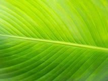 Grande fondo del primo piano della foglia della pianta verde fotografia stock libera da diritti