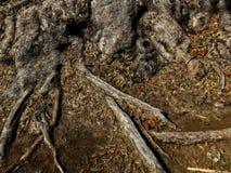 Grande fondo di struttura della radice dell'albero Immagine Stock