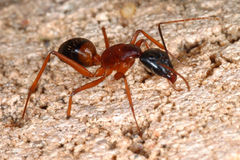 Grande formica? Fotografia Stock