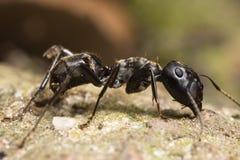 Grande formica capa nera Immagine Stock