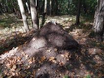 Grande formica-collina della foresta fotografia stock libera da diritti