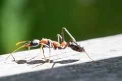 Grande formica su un banco di legno Immagine Stock Libera da Diritti