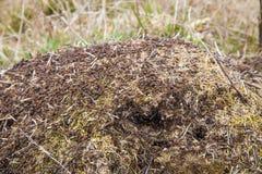 Grande formicaio nel legno Immagini Stock
