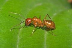 Grande formiga vermelha Fotos de Stock Royalty Free