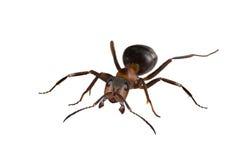 Grande fourmi d'isolement de Brown Photos stock