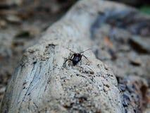 Grande fourmi noire sur un rondin d'arbre photos libres de droits