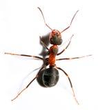 Grande fourmi rouge. photo libre de droits
